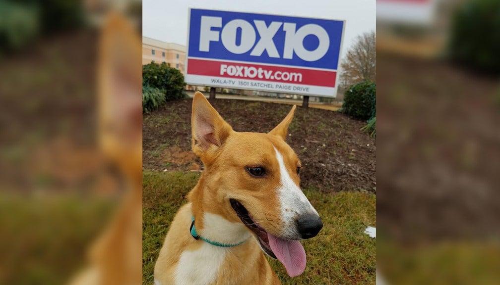 Fox needs a home for the holidays (ARF)