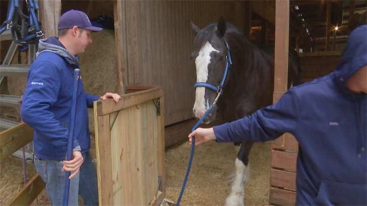 Clydesdale in Mobile for Mardi Gras (FOX10 News)