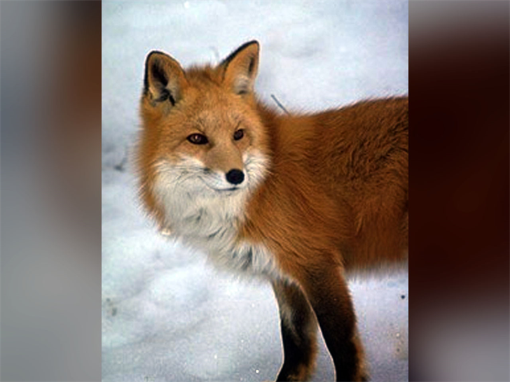 File photo of red fox (U.S. Department of Agriculture)