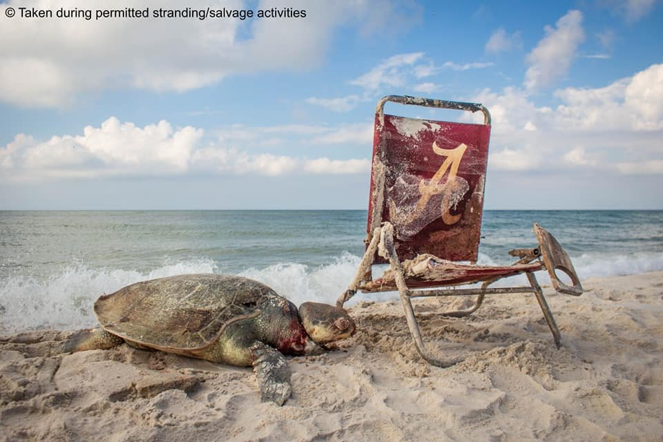Sea turtle found dead with beach chair string around neck