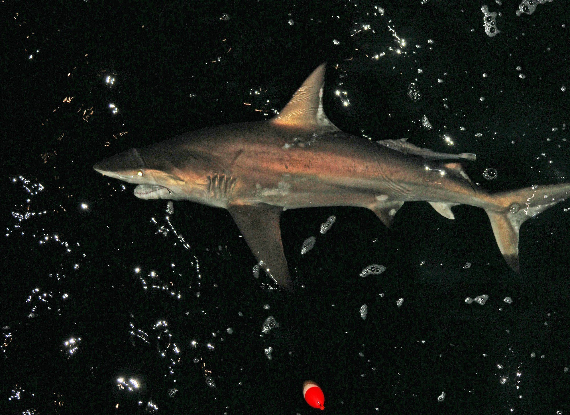 This spinner shark was caught during a previous shark-fishing event. (Photo by David Rainer)